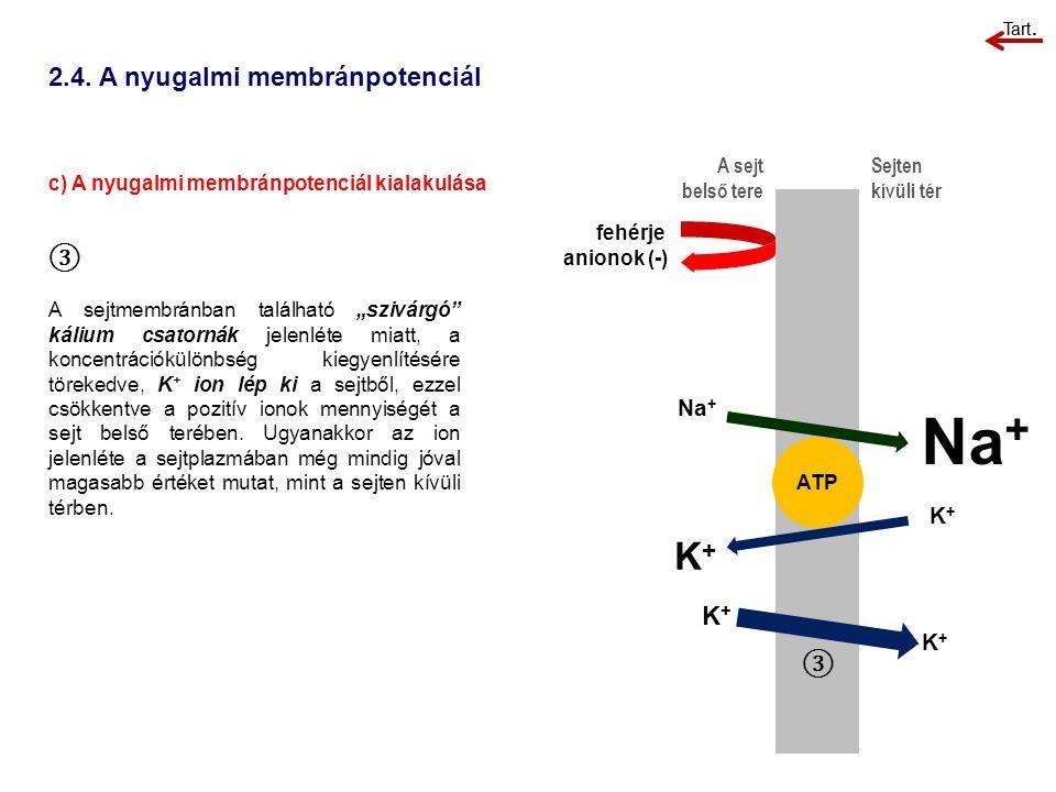 """2.4. A nyugalmi membránpotenciál c) A nyugalmi membránpotenciál kialakulása A sejt belső tere Sejten kívüli tér ③ A sejtmembránban található """"szivárgó"""