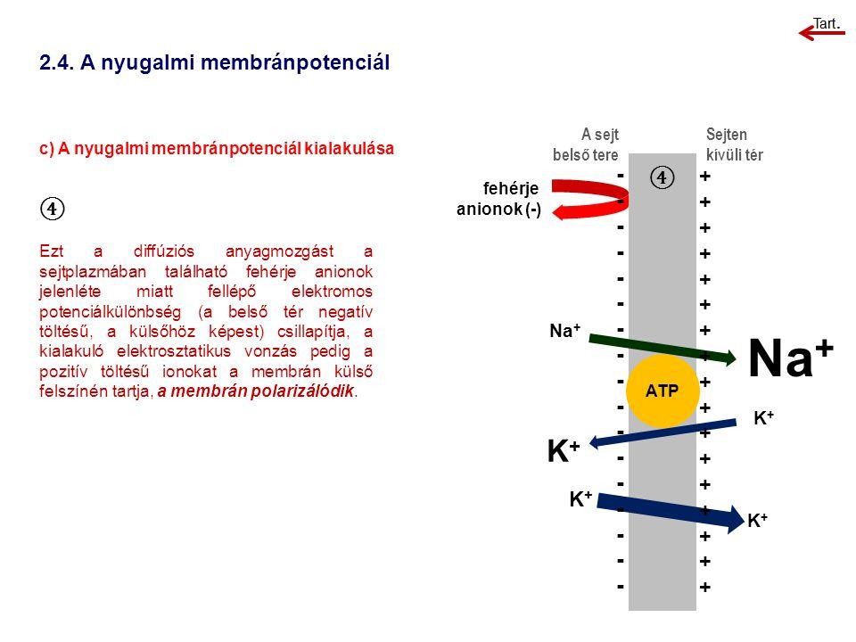 2.4. A nyugalmi membránpotenciál c) A nyugalmi membránpotenciál kialakulása A sejt belső tere Sejten kívüli tér ④ Ezt a diffúziós anyagmozgást a sejtp