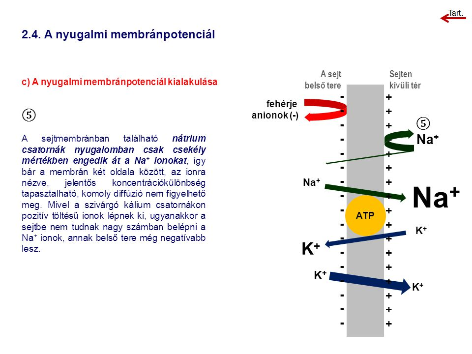 2.4. A nyugalmi membránpotenciál c) A nyugalmi membránpotenciál kialakulása A sejt belső tere Sejten kívüli tér ⑤ A sejtmembránban található nátrium c