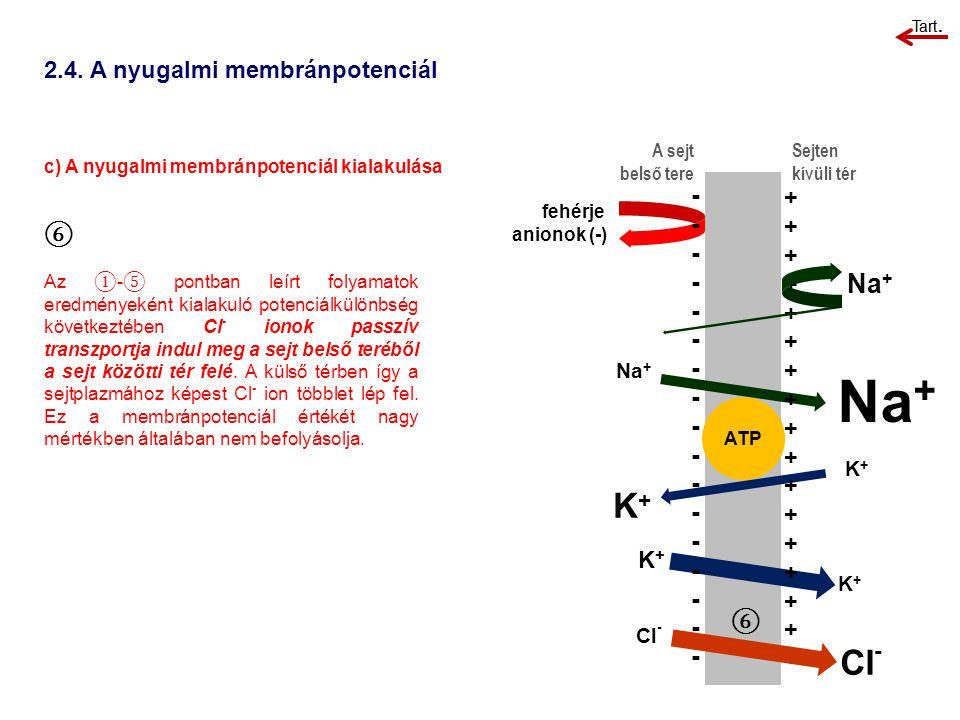 2.4. A nyugalmi membránpotenciál c) A nyugalmi membránpotenciál kialakulása A sejt belső tere Sejten kívüli tér ⑥ Az ① - ⑤ pontban leírt folyamatok er