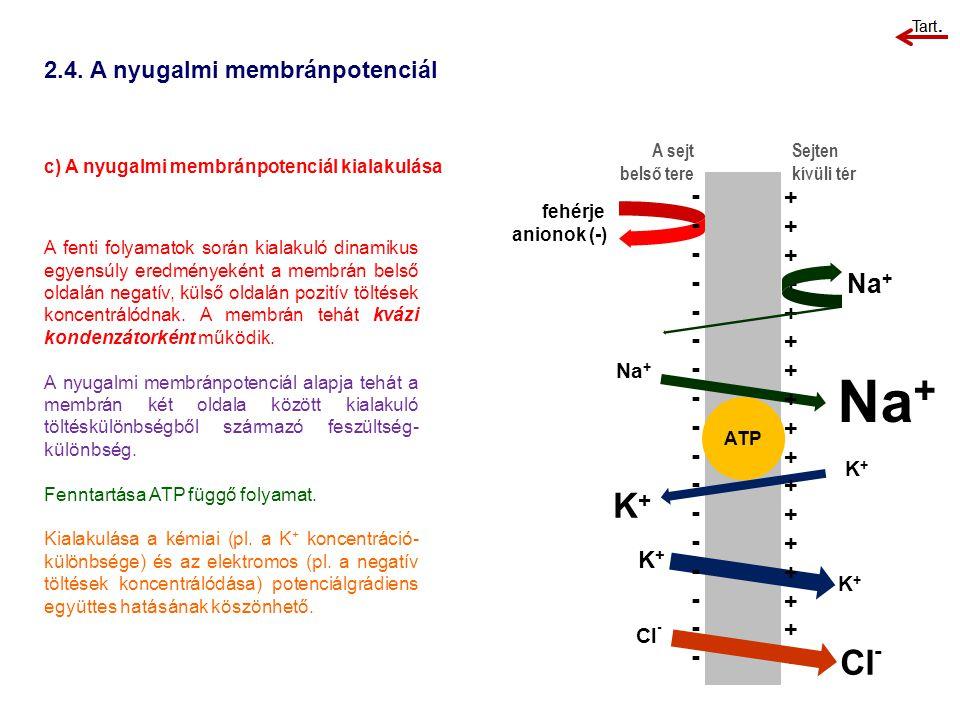 2.4. A nyugalmi membránpotenciál c) A nyugalmi membránpotenciál kialakulása A sejt belső tere Sejten kívüli tér A fenti folyamatok során kialakuló din