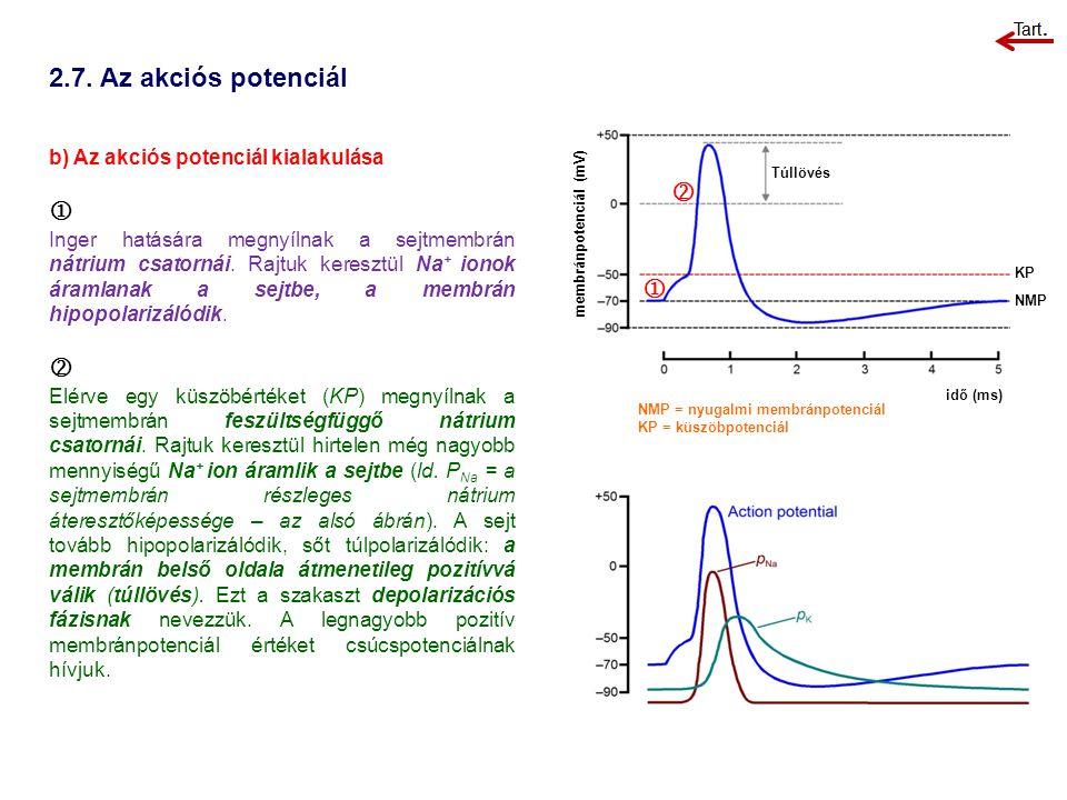 2.7. Az akciós potenciál b) Az akciós potenciál kialakulása  Inger hatására megnyílnak a sejtmembrán nátrium csatornái. Rajtuk keresztül Na + ionok á