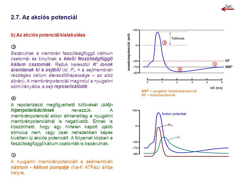 2.7. Az akciós potenciál b) Az akciós potenciál kialakulása  Bezárulnak a membrán feszültségfüggő nátrium csatornái és kinyílnak a késői feszültségfü