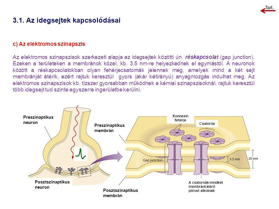 3.1. Az idegsejtek kapcsolódásai c) Az elektromos szinapszis Az elektromos szinapszisok szerkezeti alapja az idegsejtek közötti ún. réskapcsolat (gap