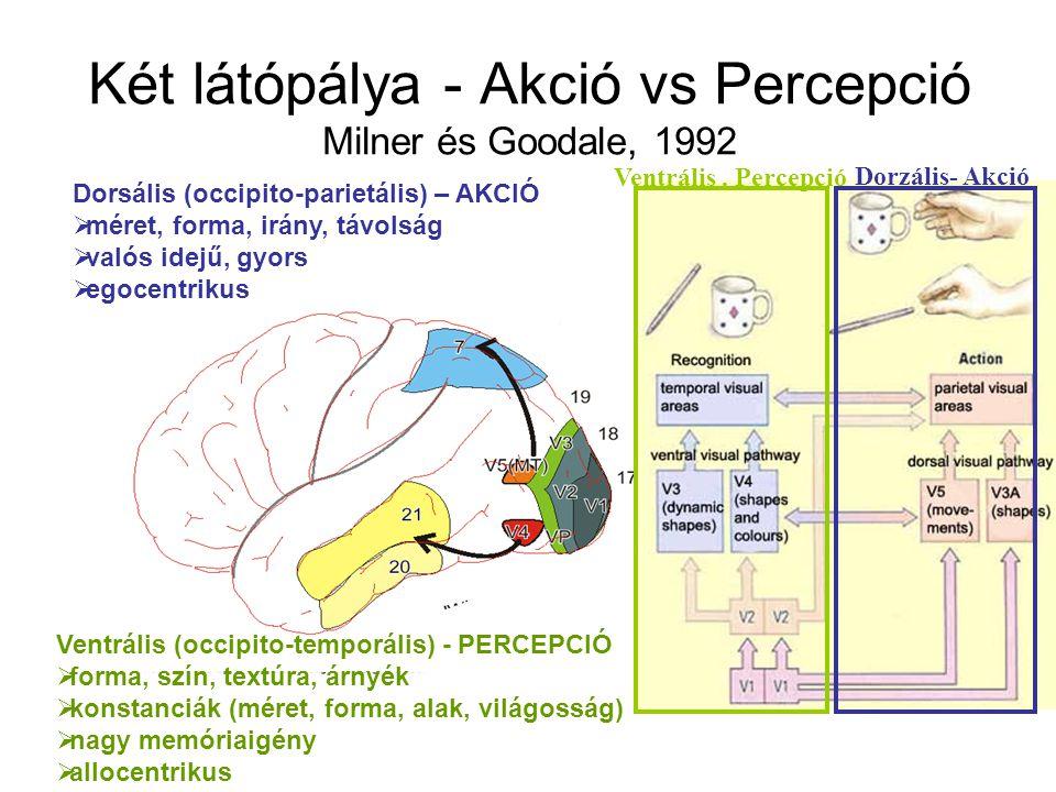 Két látópálya - Akció vs Percepció Milner és Goodale, 1992 Dorsális (occipito-parietális) – AKCIÓ  méret, forma, irány, távolság  valós idejű, gyors  egocentrikus Ventrális (occipito-temporális) - PERCEPCIÓ  forma, szín, textúra, árnyék  konstanciák (méret, forma, alak, világosság)  nagy memóriaigény  allocentrikus Ventrális.