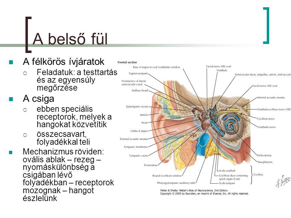 A belső fül  A félkörös ívjáratok  Feladatuk: a testtartás és az egyensúly megőrzése  A csiga  ebben speciális receptorok, melyek a hangokat közvetítik  összecsavart, folyadékkal teli  Mechanizmus röviden: ovális ablak – rezeg – nyomáskülönbség a csigában lévő folyadékban – receptorok mozognak – hangot észlelünk