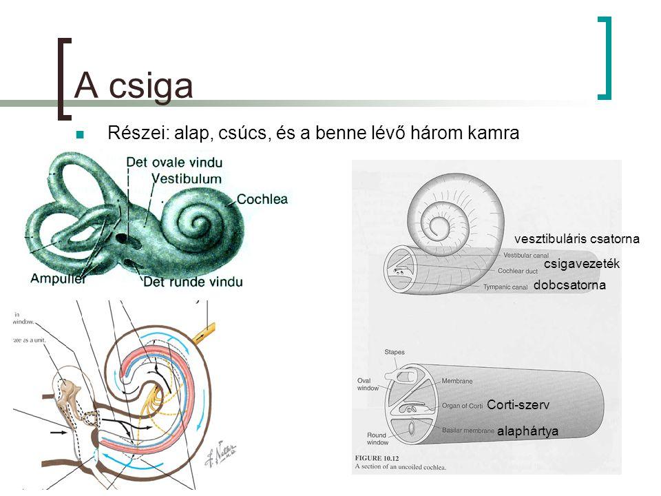 A csiga  Részei: alap, csúcs, és a benne lévő három kamra vesztibuláris csatorna csigavezeték dobcsatorna alaphártya Corti-szerv
