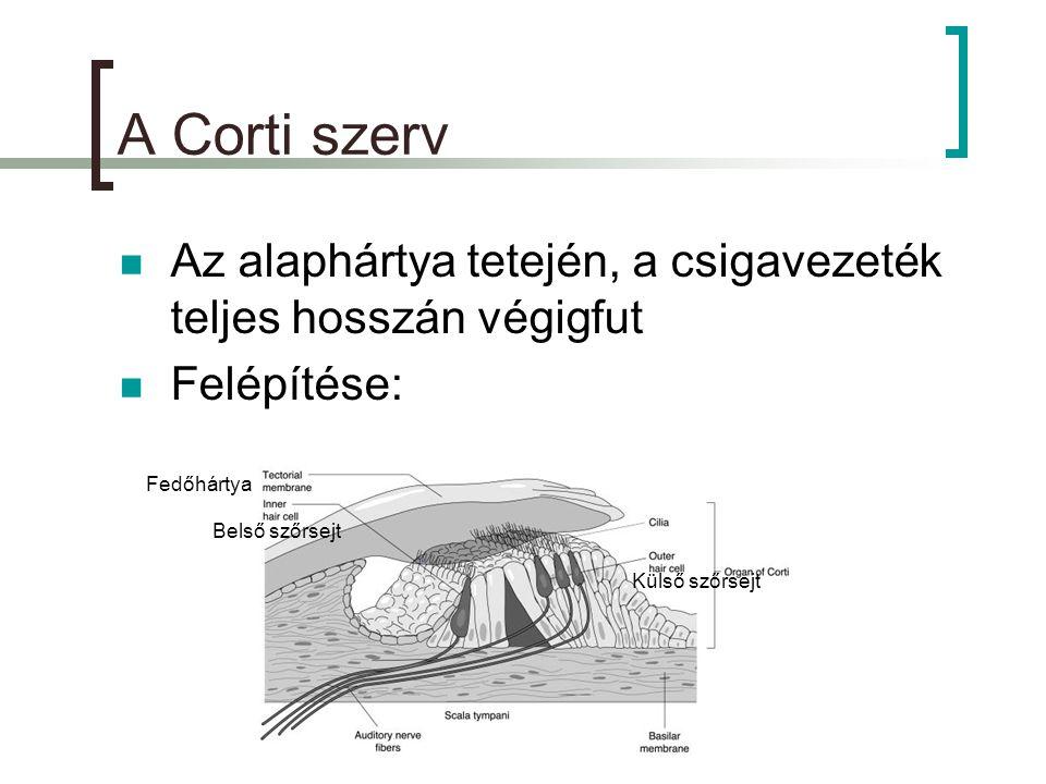 A Corti szerv  Az alaphártya tetején, a csigavezeték teljes hosszán végigfut  Felépítése: Külső szőrsejt Belső szőrsejt Fedőhártya
