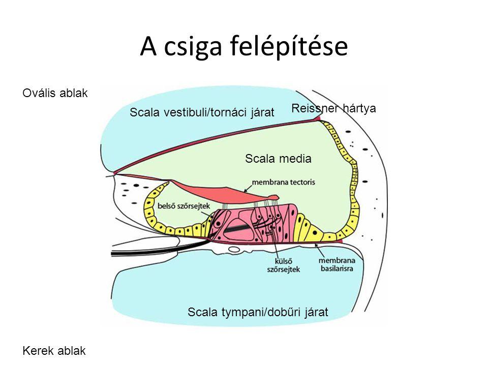 A csiga felépítése Scala tympani/dobűri járat Scala vestibuli/tornáci járat Scala media Reissner hártya Ovális ablak Kerek ablak