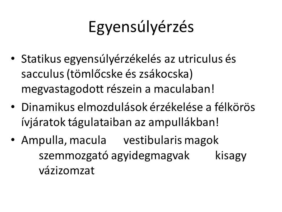 Egyensúlyérzés • Statikus egyensúlyérzékelés az utriculus és sacculus (tömlőcske és zsákocska) megvastagodott részein a maculaban! • Dinamikus elmozdu