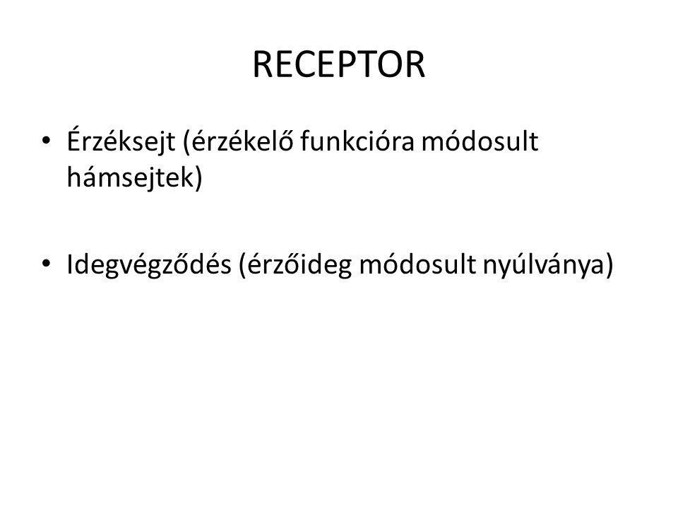 RECEPTOR • Érzéksejt (érzékelő funkcióra módosult hámsejtek) • Idegvégződés (érzőideg módosult nyúlványa)