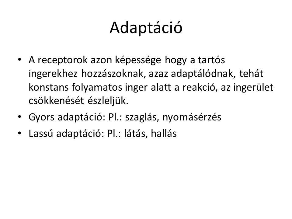 Adaptáció • A receptorok azon képessége hogy a tartós ingerekhez hozzászoknak, azaz adaptálódnak, tehát konstans folyamatos inger alatt a reakció, az