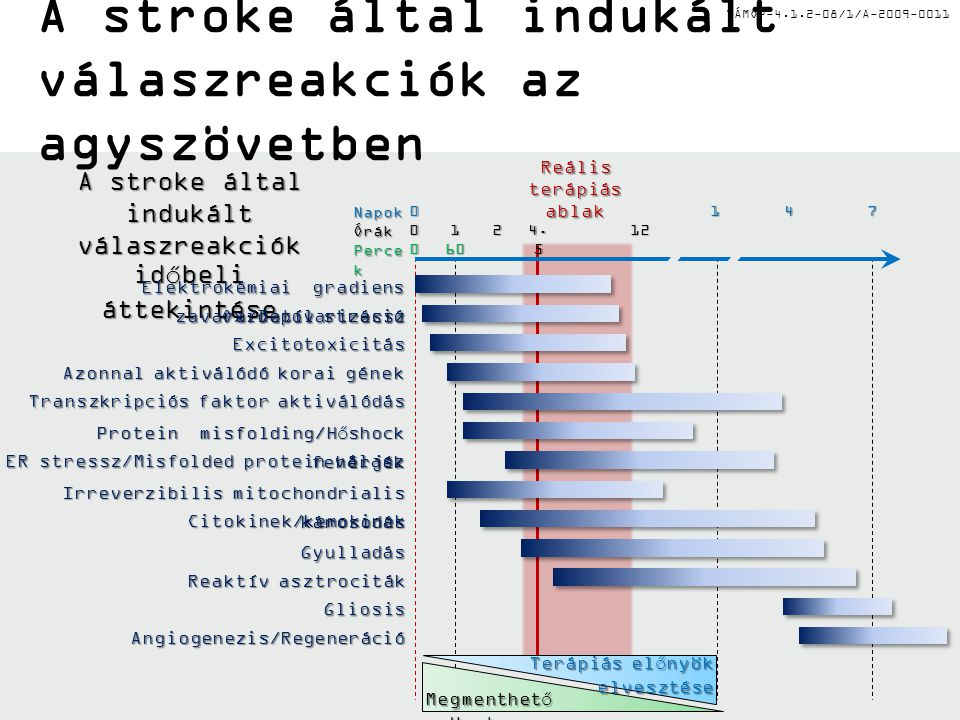 TÁMOP-4.1.2-08/1/A-2009-0011 Reális terápiás ablak A stroke által indukált válaszreakciók az agyszövetben A stroke által indukált válaszreakciók időbe