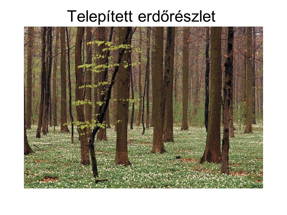 Telepített erdőrészlet