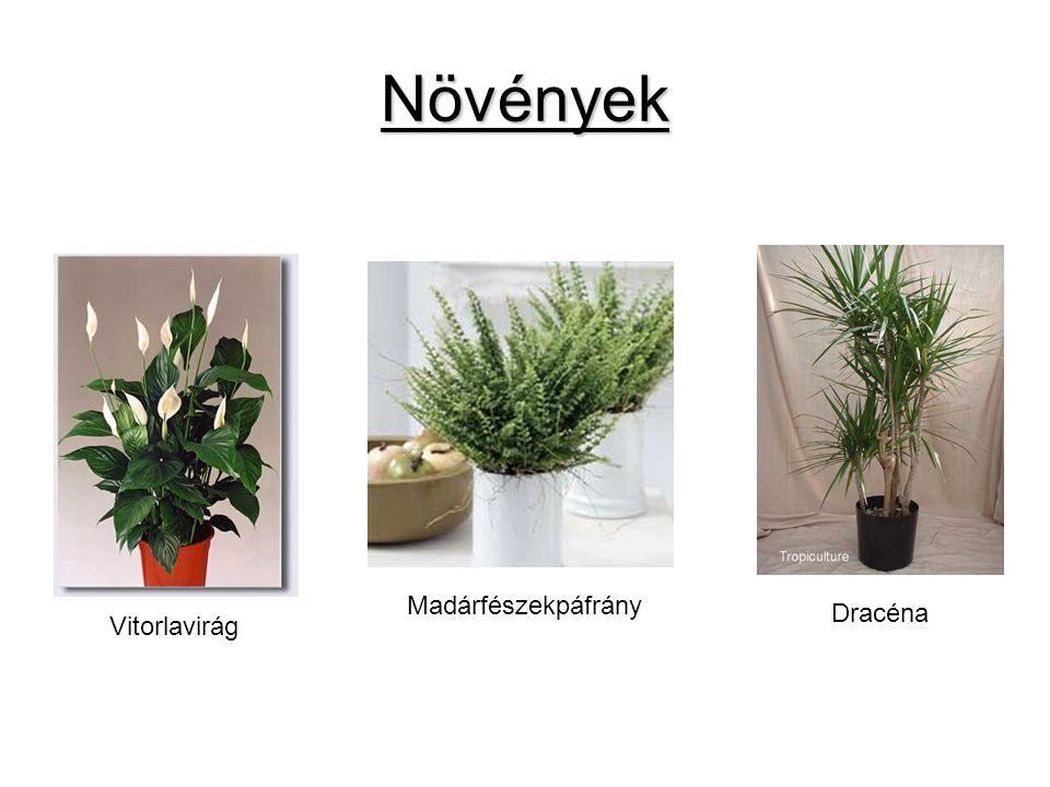 Növények Madárfészekpáfrány Dracéna Vitorlavirág