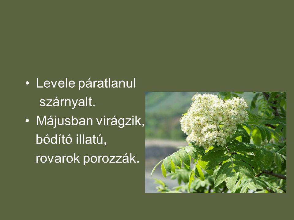 •Levele páratlanul szárnyalt. •Májusban virágzik, bódító illatú, rovarok porozzák.