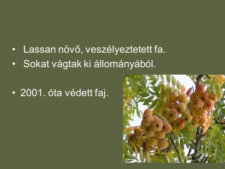 • Lassan növő, veszélyeztetett fa. • Sokat vágtak ki állományából. •2001. óta védett faj.