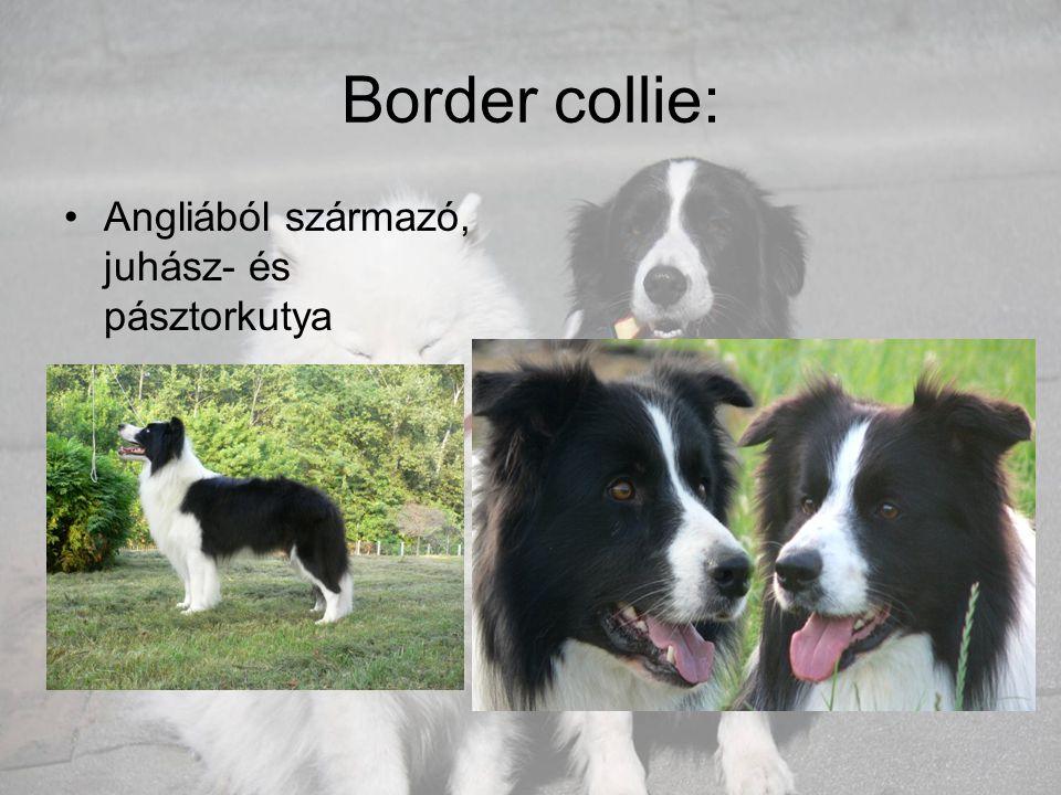 Border collie: •Angliából származó, juhász- és pásztorkutya