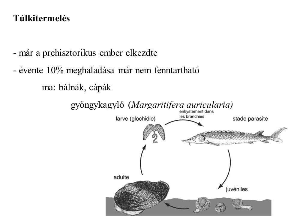 Túlkitermelés - már a prehisztorikus ember elkezdte - évente 10% meghaladása már nem fenntartható ma: bálnák, cápák gyöngykagyló (Margaritifera auricu