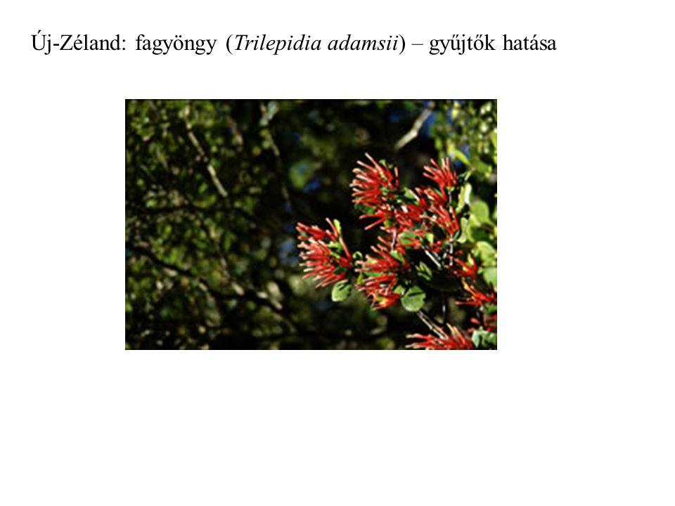 Új-Zéland: fagyöngy (Trilepidia adamsii) – gyűjtők hatása