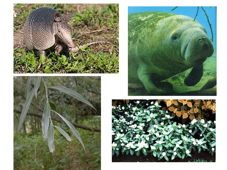 - gyógyszerek 40%-a tartalmaz növényi vagy állati hatóanyagot fehér fűz (Salix alba) levelei: aszpirin kilencöves tatu (Dasypus novemcinctus): lepra gyógyítása karibi manáti / tengeri tehén (Trichechus manatus): hemofília Catharantus roseus, egy tengeri csiga: vérrák stb.