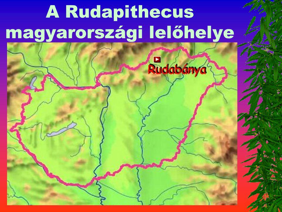 A hominidák – emberfélék 2. Rudapithecus Kora : 10 - 6 milli ó é v Agykoponya : 450 - 500 cm 3 A lelet helye: Európa, Afrika, Ázsia Mo. Rudabánya Eszk