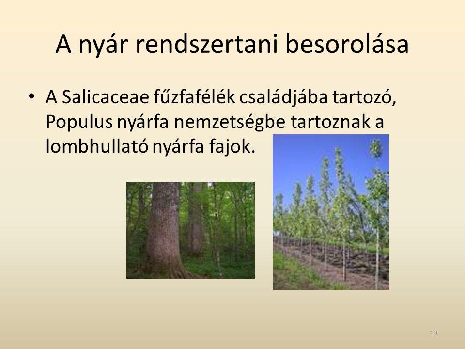 A nyár rendszertani besorolása • A Salicaceae fűzfafélék családjába tartozó, Populus nyárfa nemzetségbe tartoznak a lombhullató nyárfa fajok. 19