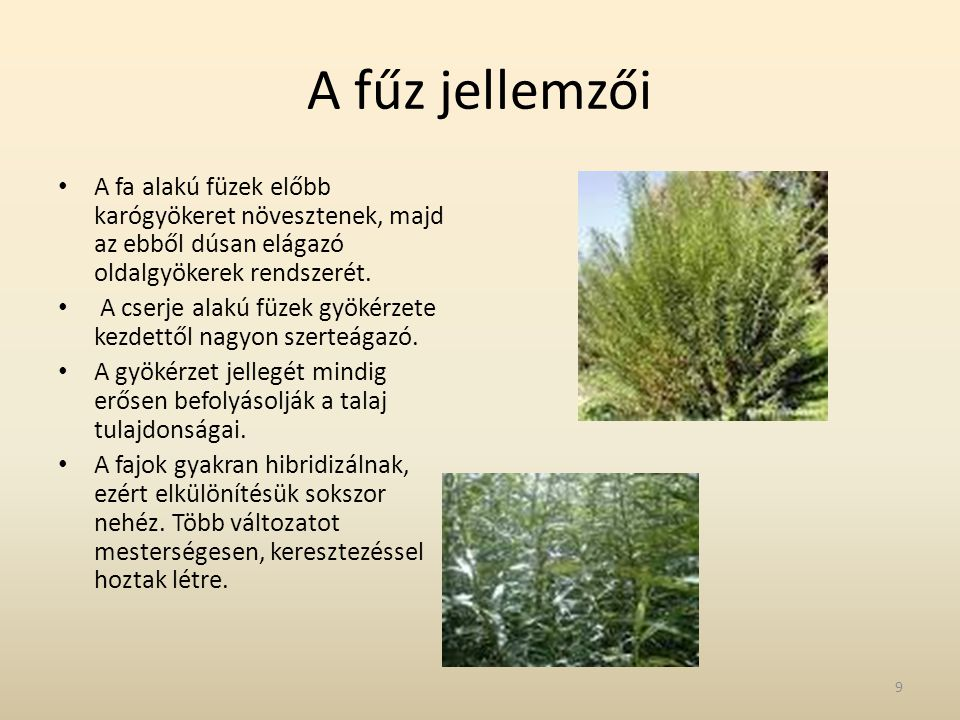 A fűz jellemzői • A fa alakú füzek előbb karógyökeret növesztenek, majd az ebből dúsan elágazó oldalgyökerek rendszerét. • A cserje alakú füzek gyökér