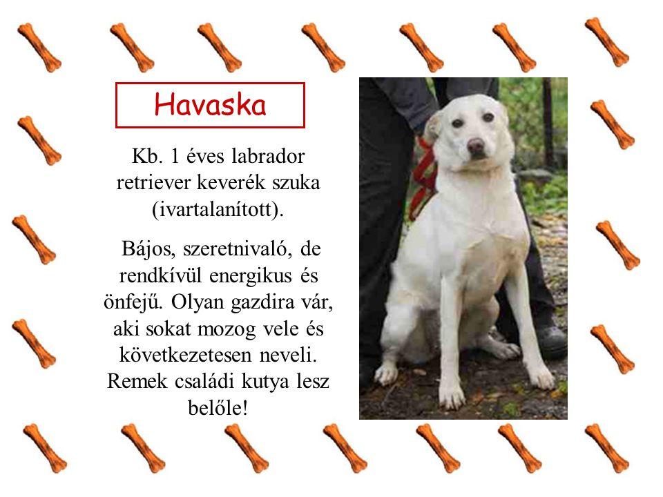 Havaska Kb. 1 éves labrador retriever keverék szuka (ivartalanított). Bájos, szeretnivaló, de rendkívül energikus és önfejű. Olyan gazdira vár, aki so