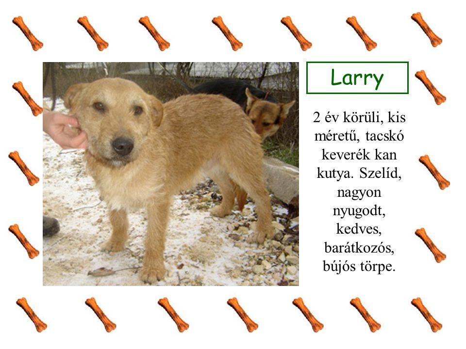 Larry 2 év körüli, kis méretű, tacskó keverék kan kutya. Szelíd, nagyon nyugodt, kedves, barátkozós, bújós törpe.