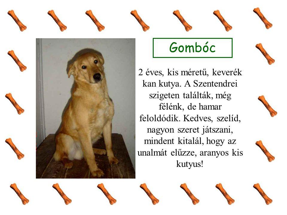 Gombóc 2 éves, kis méretű, keverék kan kutya. A Szentendrei szigeten találták, még félénk, de hamar feloldódik. Kedves, szelíd, nagyon szeret játszani