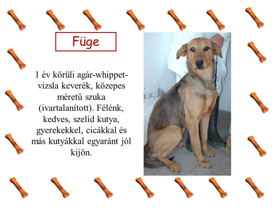 Füge 1 év körüli agár-whippet- vizsla keverék, közepes méretű szuka (ivartalanított). Félénk, kedves, szelíd kutya, gyerekekkel, cicákkal és más kutyá