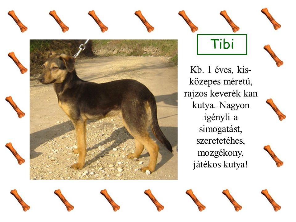 Tibi Kb. 1 éves, kis- közepes méretű, rajzos keverék kan kutya. Nagyon igényli a simogatást, szeretetéhes, mozgékony, játékos kutya!
