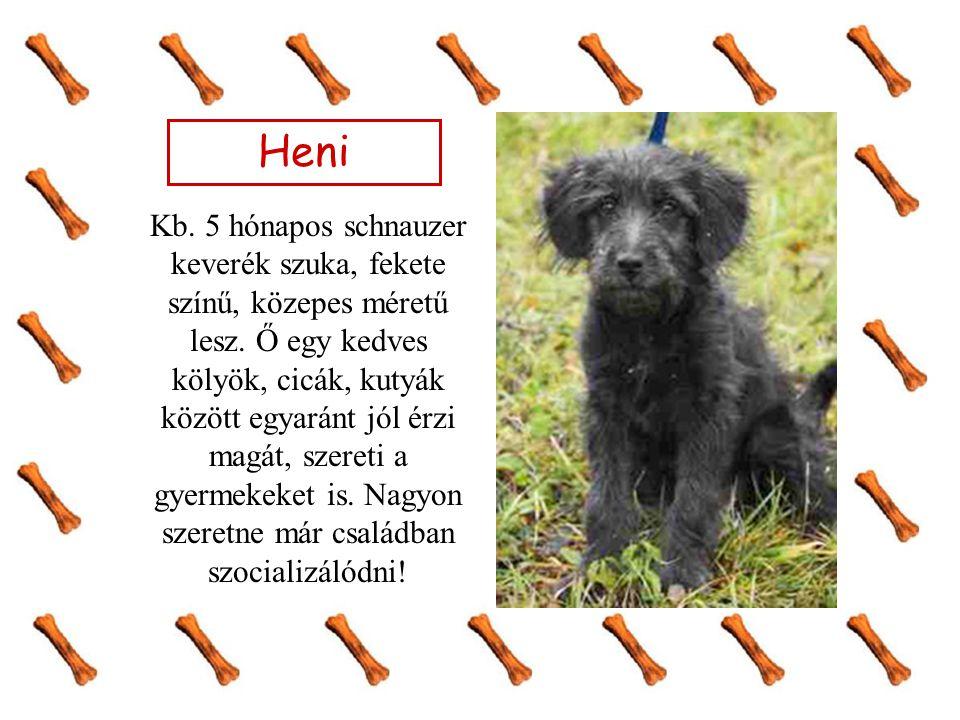 Heni Kb. 5 hónapos schnauzer keverék szuka, fekete színű, közepes méretű lesz. Ő egy kedves kölyök, cicák, kutyák között egyaránt jól érzi magát, szer