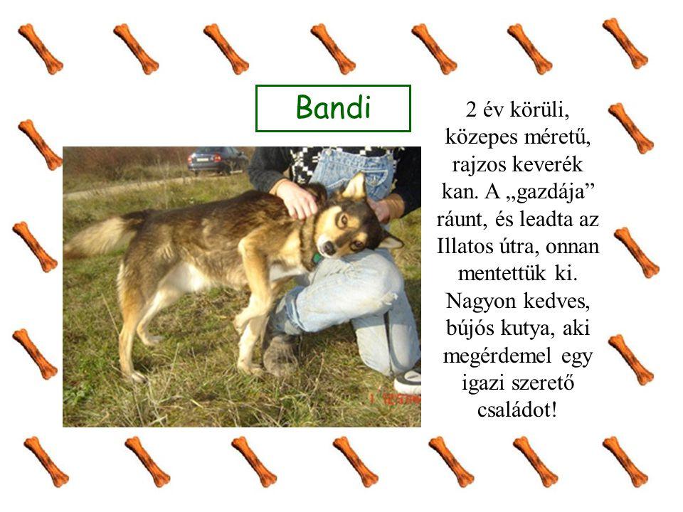 """Bandi 2 év körüli, közepes méretű, rajzos keverék kan. A """"gazdája"""" ráunt, és leadta az Illatos útra, onnan mentettük ki. Nagyon kedves, bújós kutya, a"""
