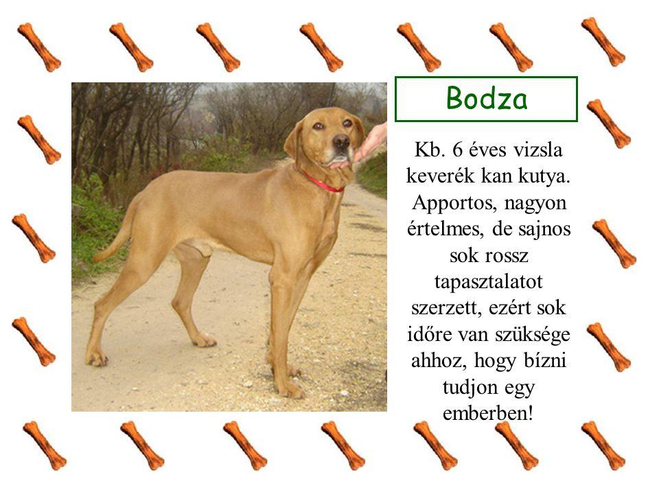 Bodza Kb. 6 éves vizsla keverék kan kutya. Apportos, nagyon értelmes, de sajnos sok rossz tapasztalatot szerzett, ezért sok időre van szüksége ahhoz,