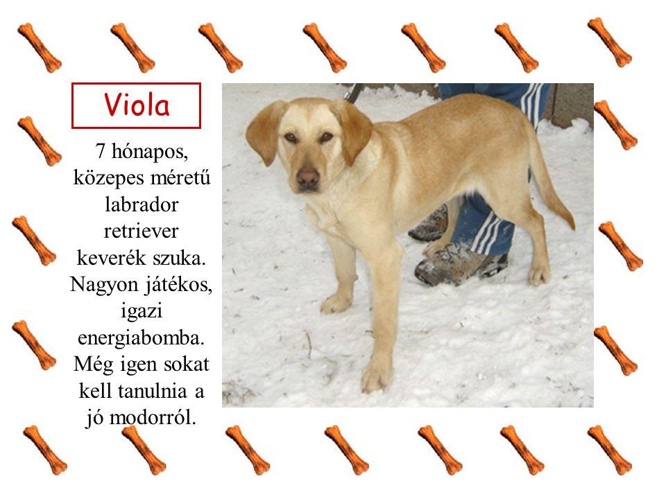 Viola 7 hónapos, közepes méretű labrador retriever keverék szuka. Nagyon játékos, igazi energiabomba. Még igen sokat kell tanulnia a jó modorról.