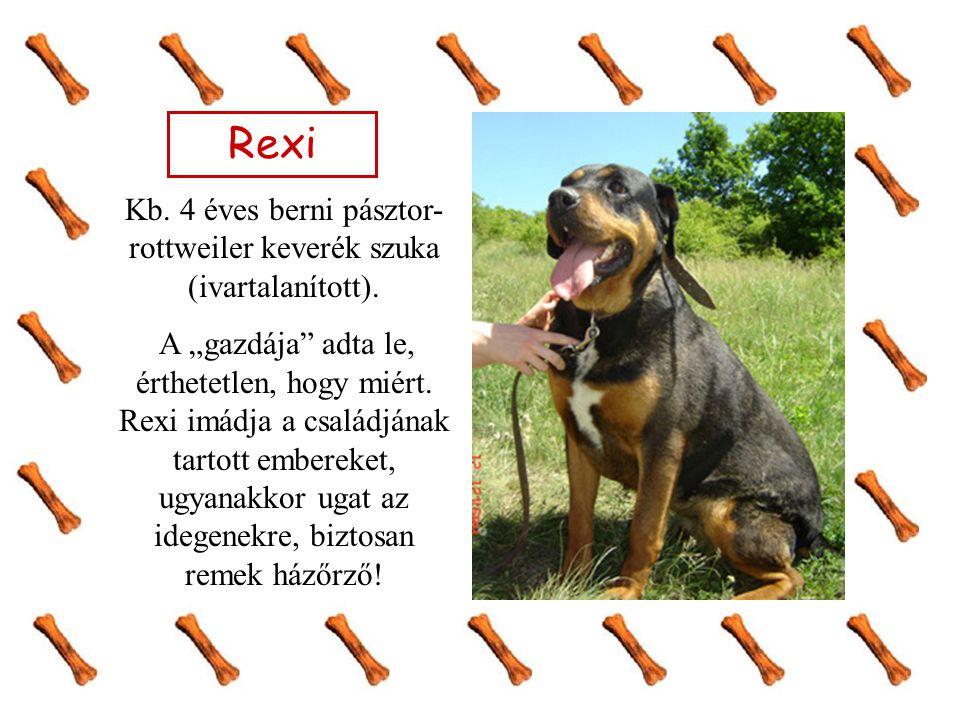"""Rexi Kb. 4 éves berni pásztor- rottweiler keverék szuka (ivartalanított). A """"gazdája"""" adta le, érthetetlen, hogy miért. Rexi imádja a családjának tart"""