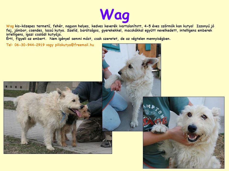 Wag Wag kis-közepes termetű, fehér, nagyon helyes, kedves keverék ivartalanított, 4-5 éves szőrmók kan kutya.