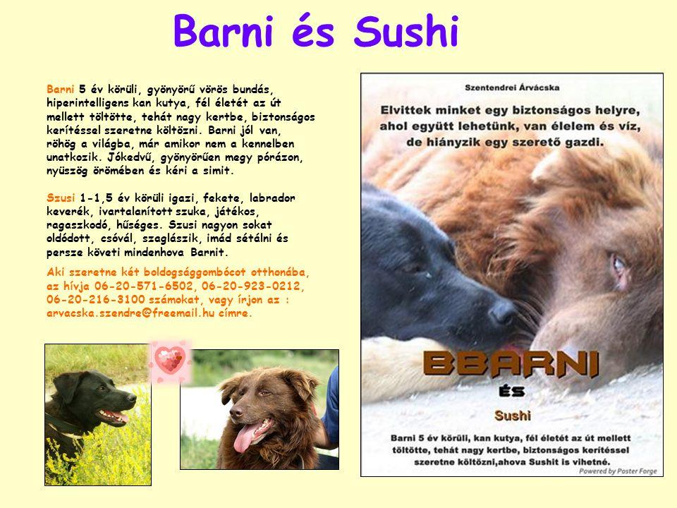 Barni és Sushi Barni 5 év körüli, gyönyörű vörös bundás, hiperintelligens kan kutya, fél életét az út mellett töltötte, tehát nagy kertbe, biztonságos kerítéssel szeretne költözni.