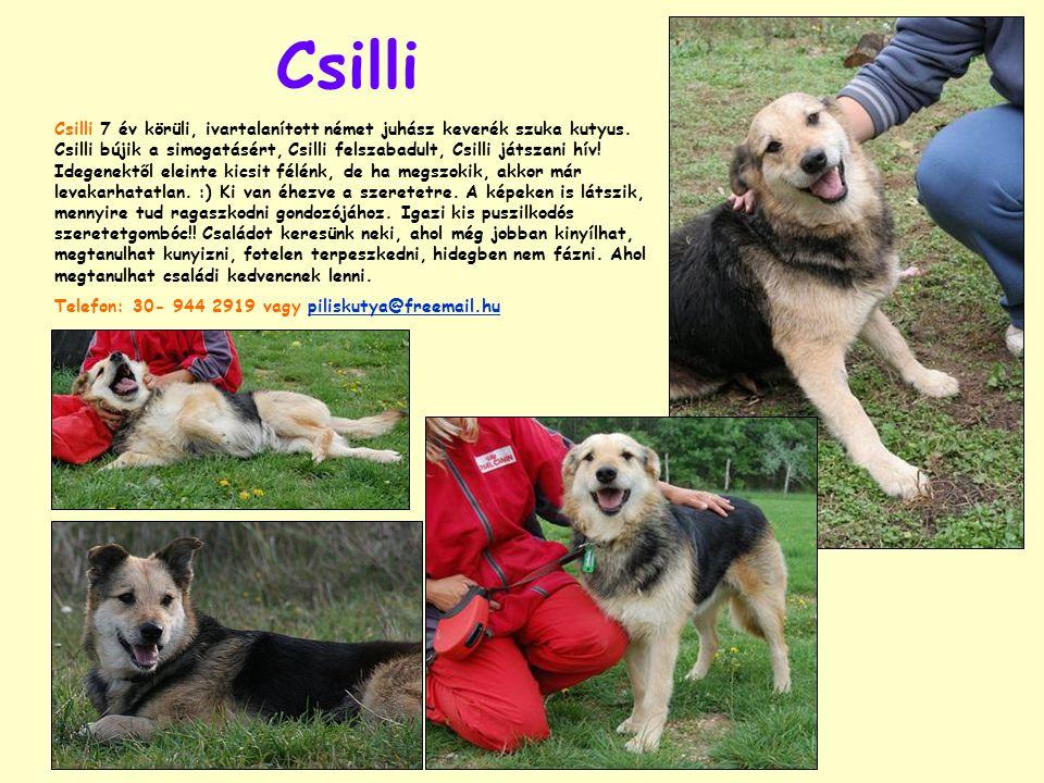 Csilli Csilli 7 év körüli, ivartalanított német juhász keverék szuka kutyus.