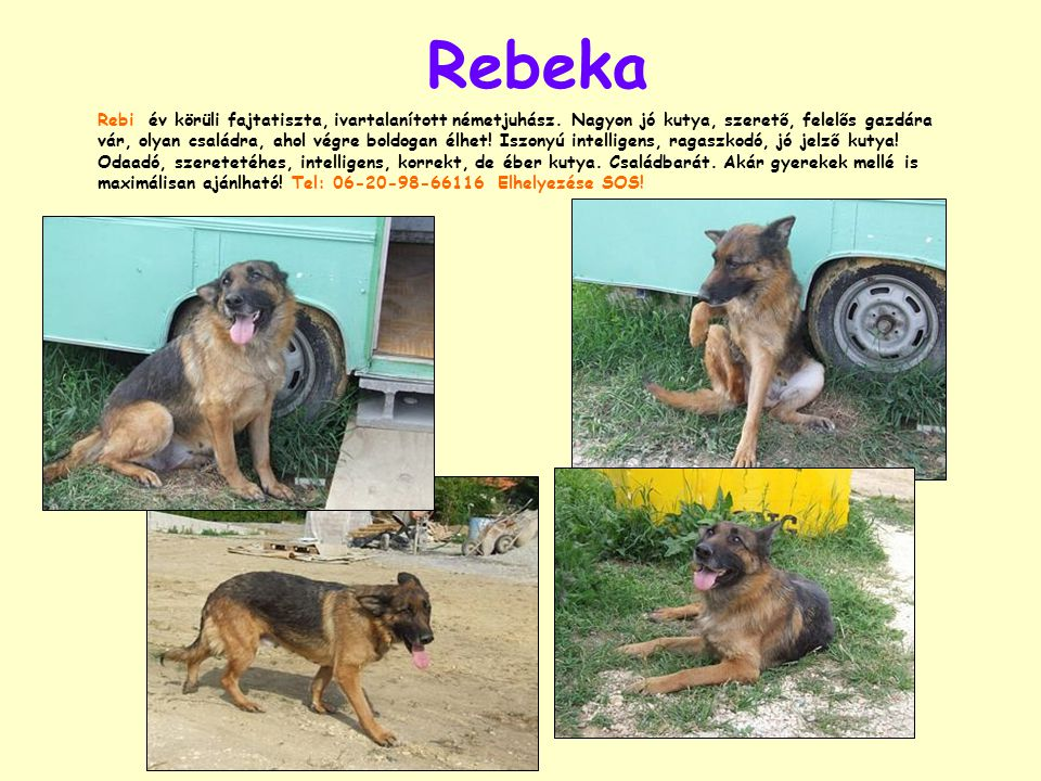 Rebeka Rebi év körüli fajtatiszta, ivartalanított németjuhász.