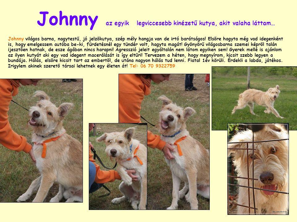 Johnny az egyik legviccesebb kinézetű kutya, akit valaha láttam… Johnny világos barna, nagytestű, jó jelzőkutya, szép mély hangja van de irtó barátságos.