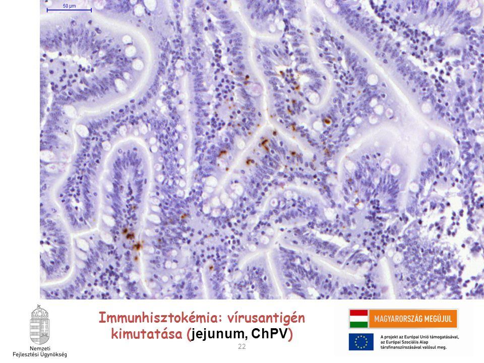22 Immunhisztokémia: vírusantigén kimutatása ( jejunum, ChPV )