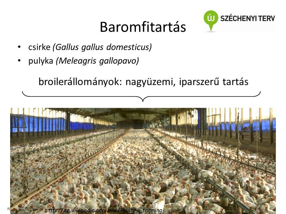 5 Baromfitartás • csirke (Gallus gallus domesticus) • pulyka (Meleagris gallopavo) broilerállományok: nagyüzemi, iparszerű tartás új, összetett kórokt