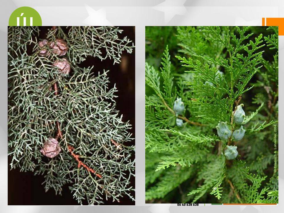 Fenyőfélék családja — Pinaceae •fák, ritkán cserjék •sok közülük erdőalkotó •tűlevelek az ágakon spirálisan szórtan •hajtástípusaik : csak hosszú (Abietoideae), •hosszú és rövid (Laricoideae) •hosszú és törpe (Pinoideae) •fásodott termős tobozok •a csírának számos sziklevele fejlődik.