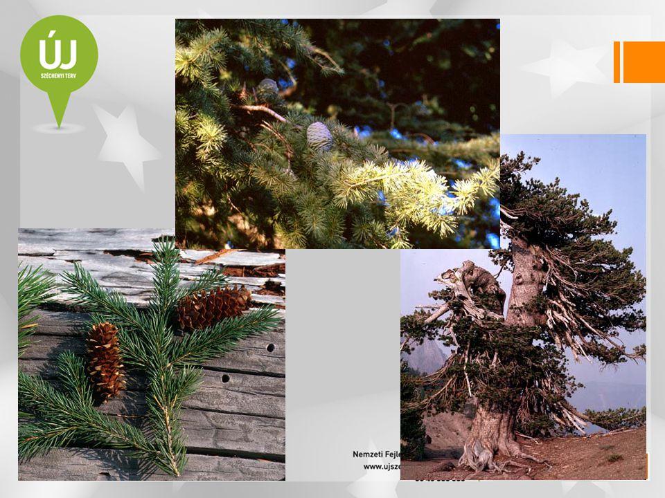 Mocsárciprusfélék családja — Taxodiaceae •a legöregebb és a legnagyobb termetű növények •mamutfenyők (Sequadendron giganteum, Sequoia sempervirens) •legidősebb fák életkora 3000 év •tű- vagy pikkelylevelű örökzöldek •mocsáriciprus (Taxodium distichum)