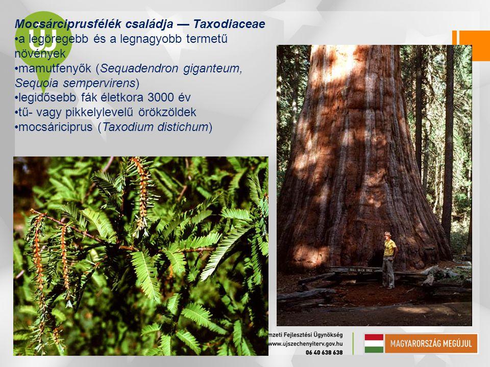 Tiszafák osztálya — Taxopsida •egyetlen rend, illetve család: tiszafafélék •kisebb fák vagy cserjék •tűlevelűek •magkezdeményeik egyenként fejlődnek a virágzó hajtásokon •magvakat magköpeny (arillusz) veszi körül •tiszafa (Taxus baccata): a Bakony hegységben található (Szentgál, Miklóspál-hegy; bükkösben)