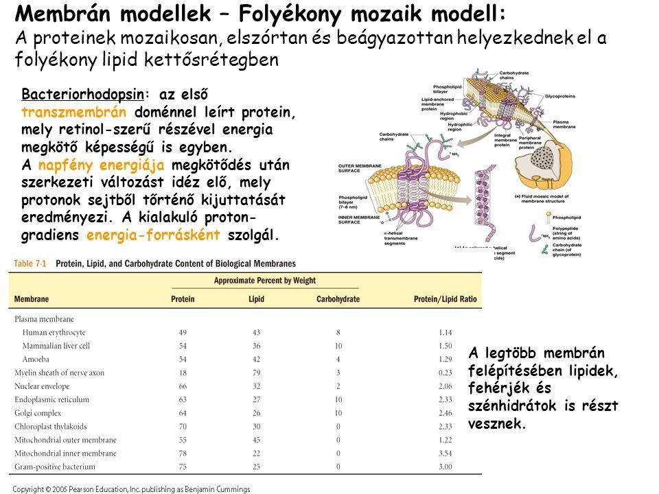 Membrán modellek – Folyékony mozaik modell: A proteinek mozaikosan, elszórtan és beágyazottan helyezkednek el a folyékony lipid kettősrétegben Bacteri