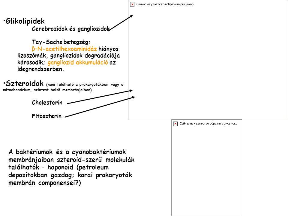 •Glikolipidek Cerebrozidok és gangliozidok Tay-Sachs betegség: β–N-acetilhexoaminidáz hiányos lizoszómák, gangliozidok degradációja károsodik; ganglio
